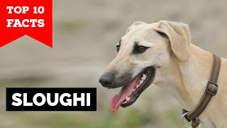 Sloughi  Top 10 Facts (Arabian Greyhound)