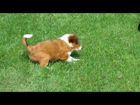 Miniature Poodle Mix Puppies For Sale