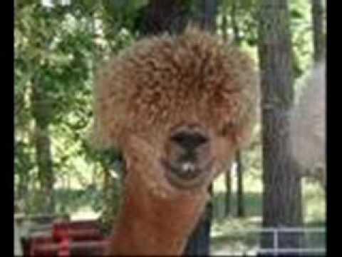 Afro Llama Youtube