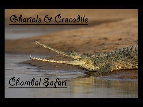 Gharials & Crocodile | Chambal | River Safari