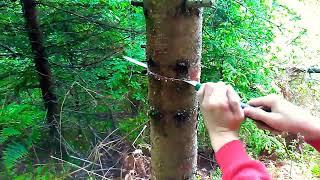 Cut down a spurce tree