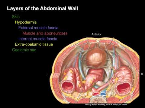 Layers Of The Abdominal Wall (X-section)