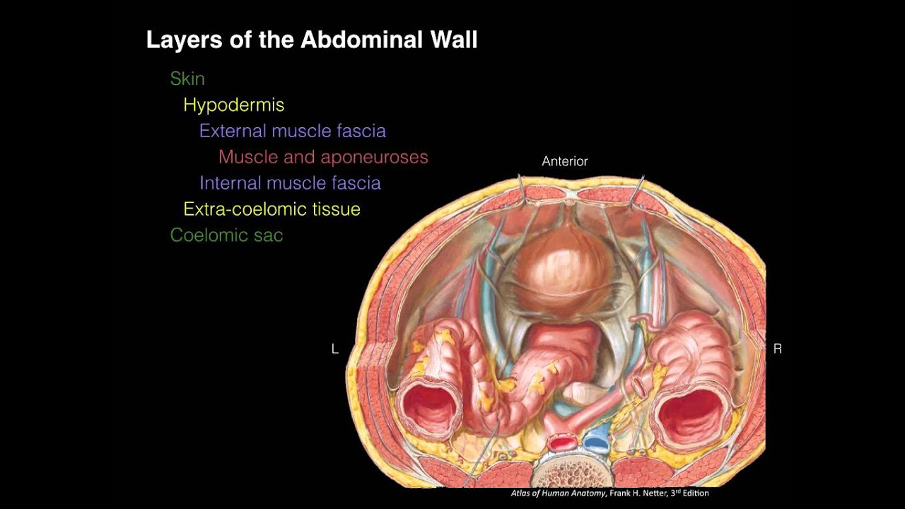 Layers of the Abdominal Wall (X-section) - YouTube