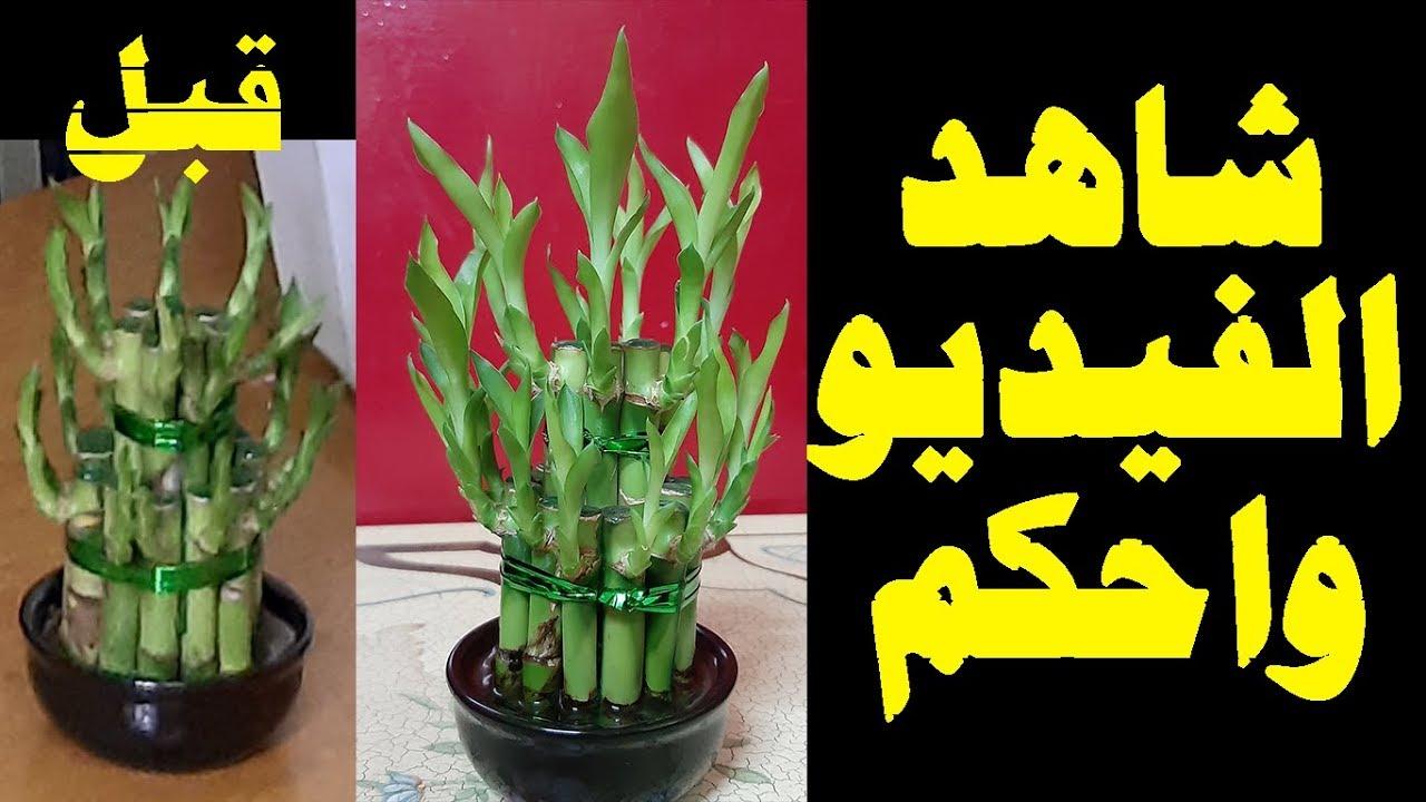 العناية بنبات البامبو نبات عصا موسى Youtube