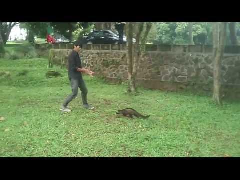 """""""Bubu"""" Musang Pandan ~ Bonding training"""