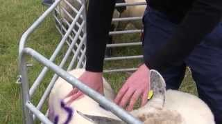 Preparing ewes for breeding