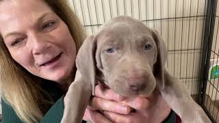 Lilly's Silver Weimaraner Puppies Week 6