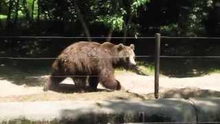 Niedźwiedź brunatny Mago w ZOO Wrocław