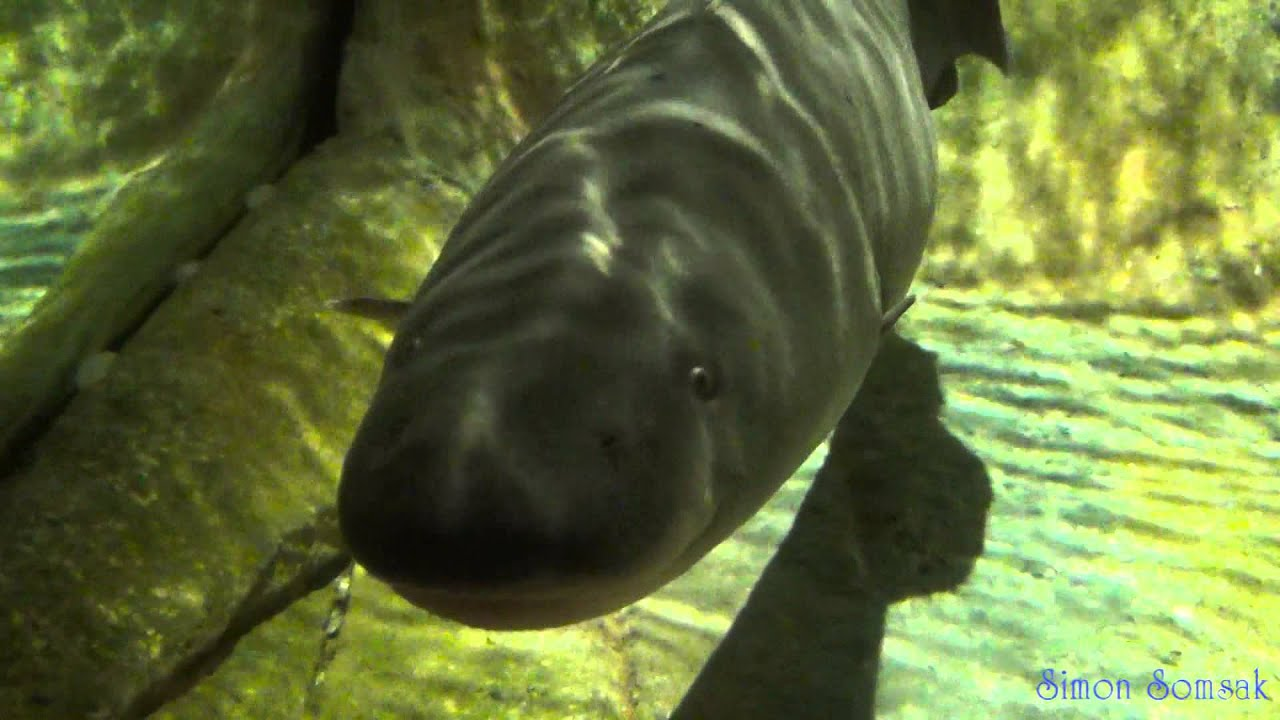 Big african knifefish electric fish for Aba aba knife fish