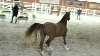 2,5 years old ridingpony (FS Daddy Cool x Kielshoop Honeymill)