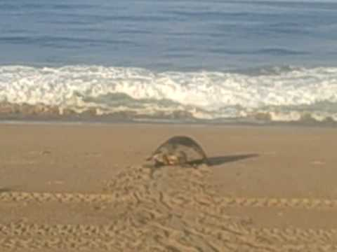 Turtle Laying Eggs On Beach 2 Costalegre Mexico Trans Americas Journey 4 09
