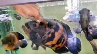 HOW TO: GROW THE BIGGEST OSCAR FISH, MONSTER OSCAR SUPER GROWTH!