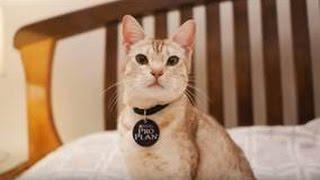Оцикет ➠ Узнайте все о породе кошек