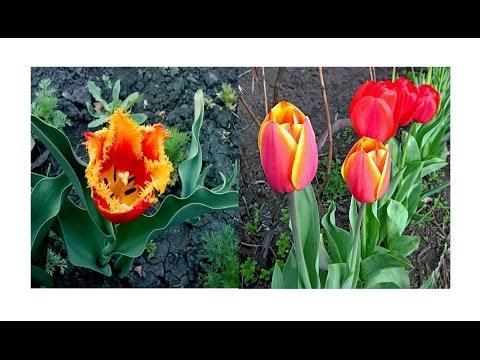Как посадить семена тюльпанов