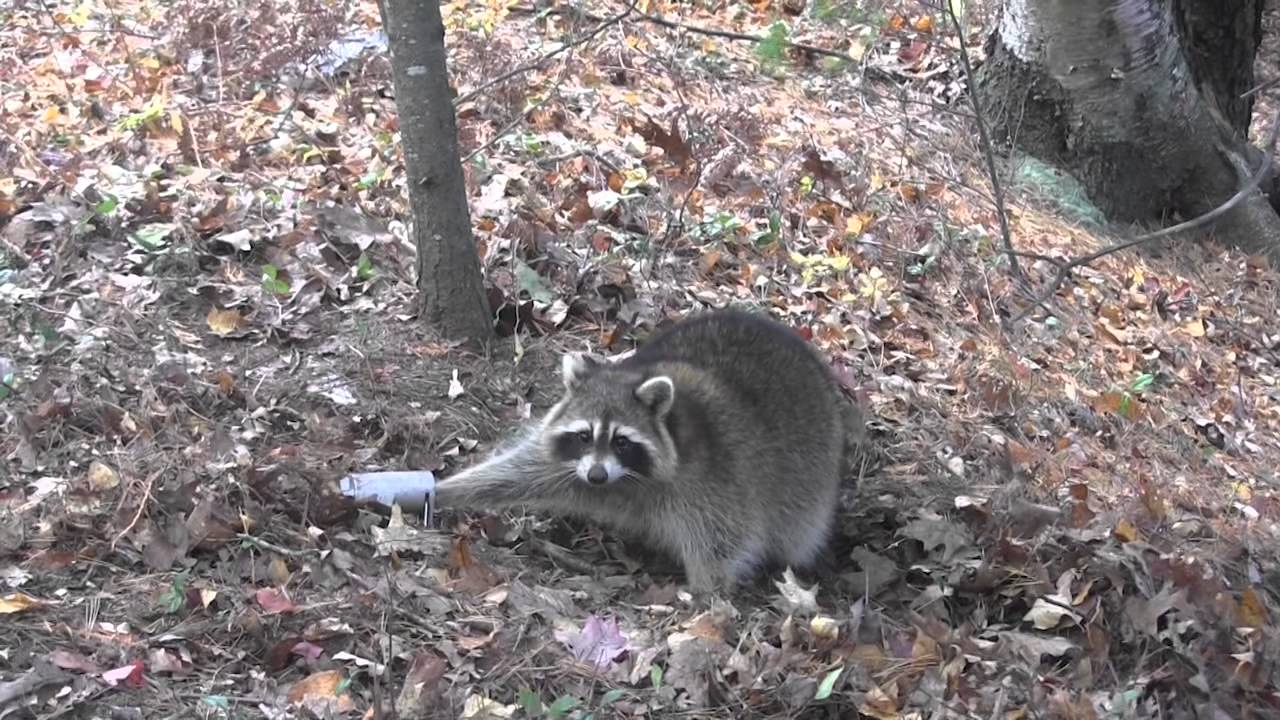how to use dog proof coon traps