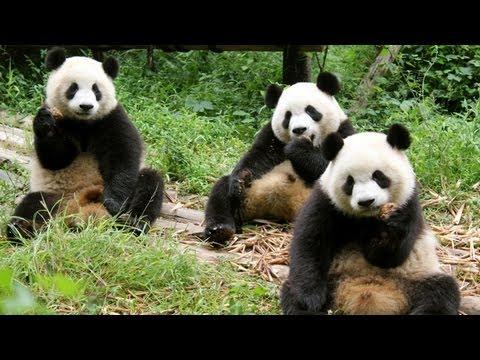 Pandas in Chengdu, China!