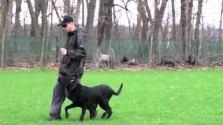 Baxter (black Lab) Advanced Obedience Dog Training
