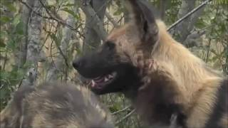 Safari Live : Jamie with Wild Dog's on drive this morning May 26, 2017 thumbnail