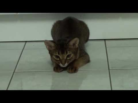 Cat plays with Laser Pointer