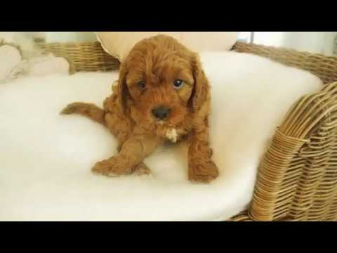 Elena's Toy Cavoodle Girl 7297 - Pocket Puppies