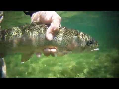 Nymph Flyfishing In The White River, Arkansas