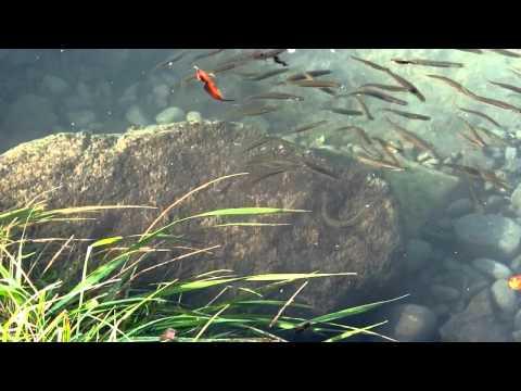 Inanga - Galaxias Maculatus - Whitebait Waimakariri River