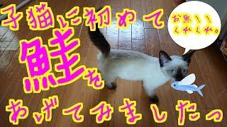 子猫のノラのご飯動画です。