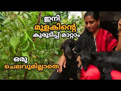 ഇനി മുളകിന്റെ കുരുടിപ്പ് മാറ്റാം ഒരു ചെലവുമില്ലാതെ | Mulaku Krishi | Chilli Malayalam Farming Video