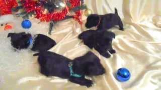 November 20th Scottish Terrier Puppies