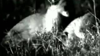 Наглые гиены отобрали еду у Каракала(Caracal vs Hyenas)