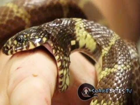 Snakes Biting! : SnakeBytesTV