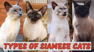 10 Most Popular Types of Siamese Cats  Which is Best for You?