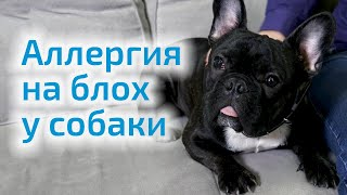 Аллергия на блох у собаки