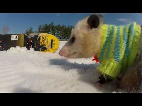 Veja o video – Ratatouille The Snowboarding Opossum