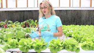 Harvesting Hydroponic Bibb Lettuce | CropKing Inc.