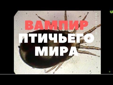 Куриный клещ /Dermanyssus gallinae (ВАМПИР ПТИЧЬЕГО МИРА)