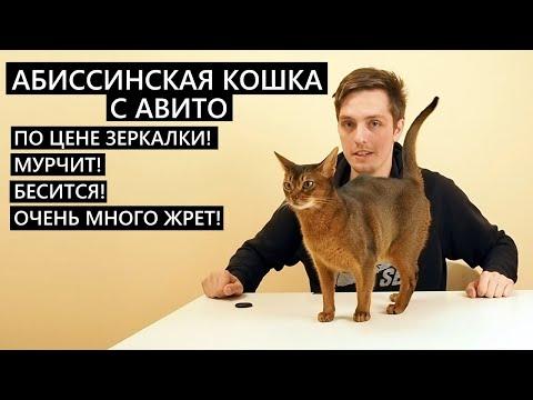Абиссинская кошка с АВИТО по цене ЗЕРКАЛКИ!