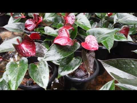 anthurium. umandi plants. for sale 0363795599 .