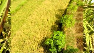 photo image farm rice paddy