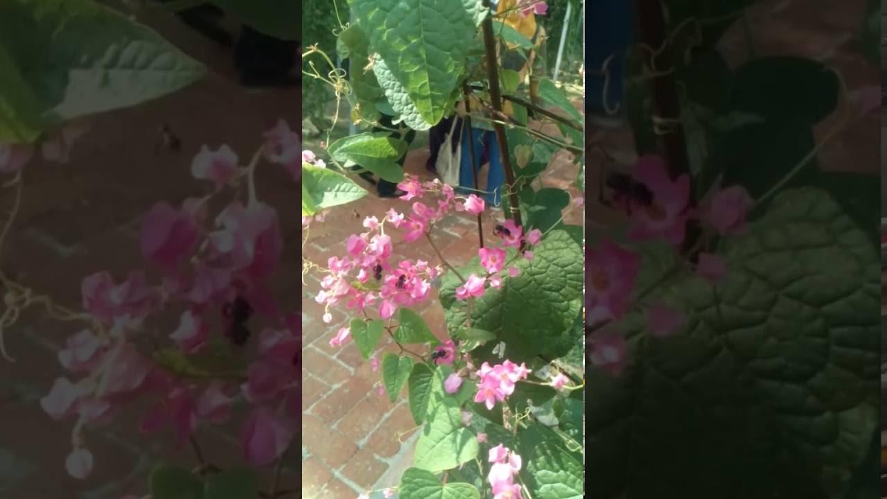Lebah Kelulut Dan Bunga Air Mata Pengantin Youtube