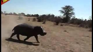 Nijlpaard valt auto aan