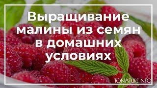 Выращивание малины из семян в домашних условиях | toNature.Info