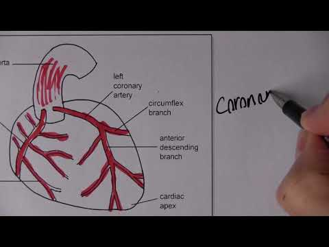 Cardiovascular System 2, Blood Circulation With MCQs