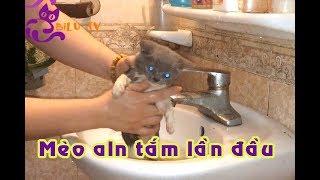 Cách tắm lần đầu tiên cho mèo anh lông ngắn