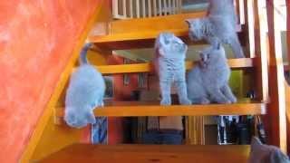 Hodowla Kotów Brytyjskich BettiGirls