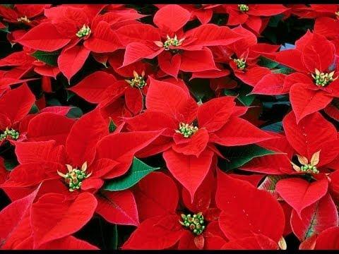 Navidad Flor De Navidad En Goma Eva Foami Youtube