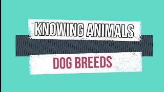 Dog Breeds  Meet the Akbash Dog | Coban Kopegi | Askbash Dog
