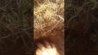 Kenger sakızı Doğu Anadolu nun  en mükemmel şifa bitkisi