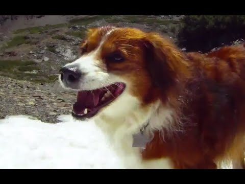 Excited Aidi Dog Roll and Jump on Snow