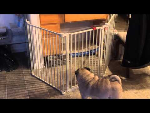 Pug breaks out of his room and can't get back in VERY FUNNY